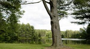 Tree troutlake 1